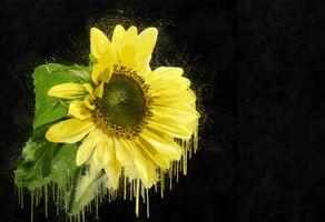 Заставки подсолнух, подсолнухи, цветы