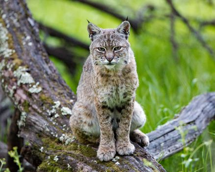 Photo free animal, Lynx lynx, big cat