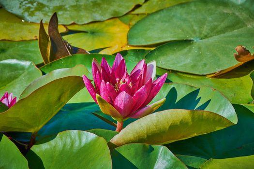 Заставки цветок, вода, пруд
