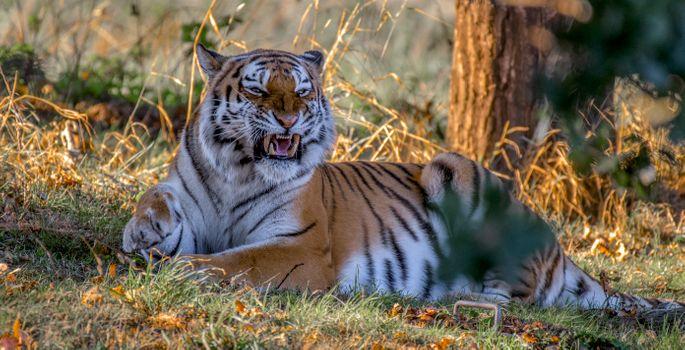 Оскал Амурского тигра · бесплатное фото