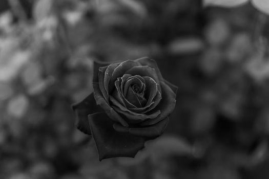 Photo free Rose, macro, monochrome