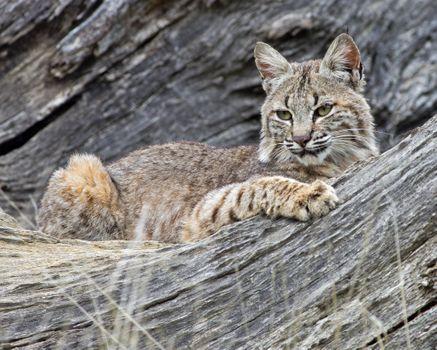 Фото бесплатно большая кошка, Lynx lynx, рысь