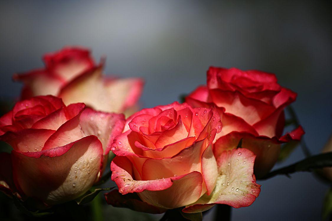 Фото бесплатно цветок, розы, природа - на рабочий стол
