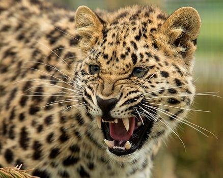 Заставки оскал, леопард, большая кошка