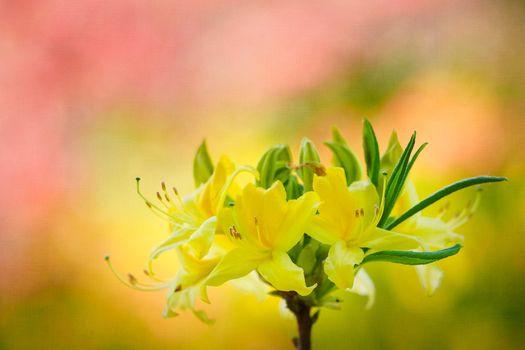 Фото бесплатно Rhododendron, цветок, цветущая ветка