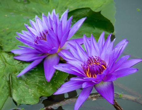 Заставки водяная лилия,вода,река,лето,водяные лилии,цветы,цветок,водоём,флора