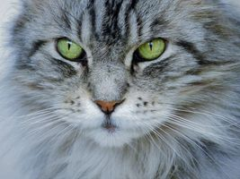 Фото бесплатно кот, кошка, морда, взгляд, фотопортрет