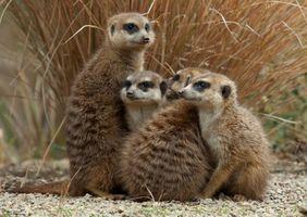 Сурикаты в Южной Африке · бесплатное фото
