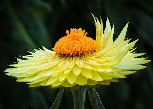 Заставки Strawflower,Xerochrysum bracteatum,цветок,флора