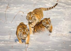 Фото бесплатно животное, хищник, животные