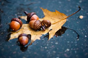 Фото бесплатно желуди, клен, осень, настроение, природа, лужа, дождь