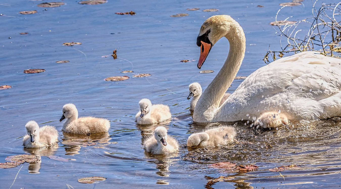 Фото бесплатно лебедята, лебедь, водоём, вода, птицы, птенцы, птицы