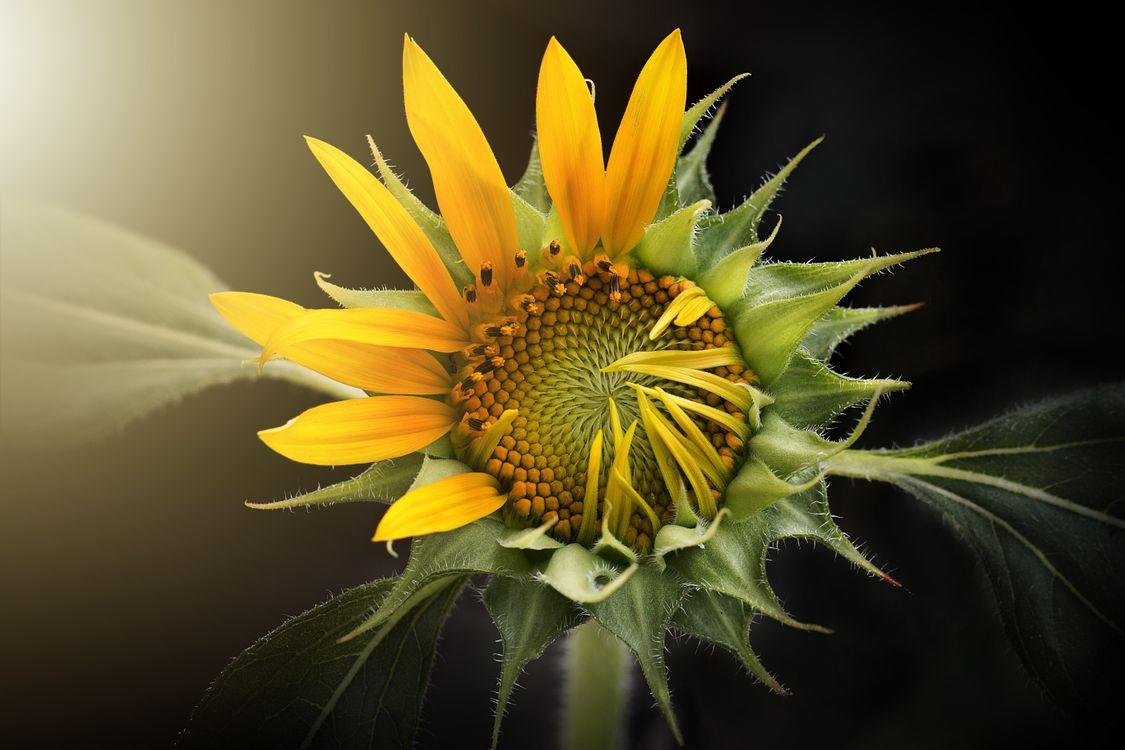 Картинка про флора, подсолнухи