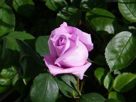 Бутон сиреневой розы и зеленые листья