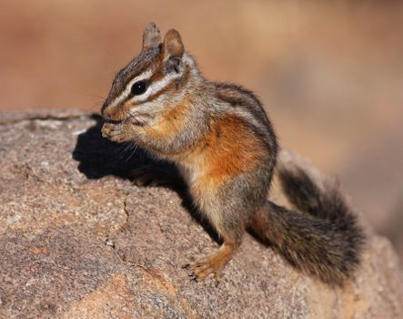 Photo free California, ground squirrel, Chipmunk
