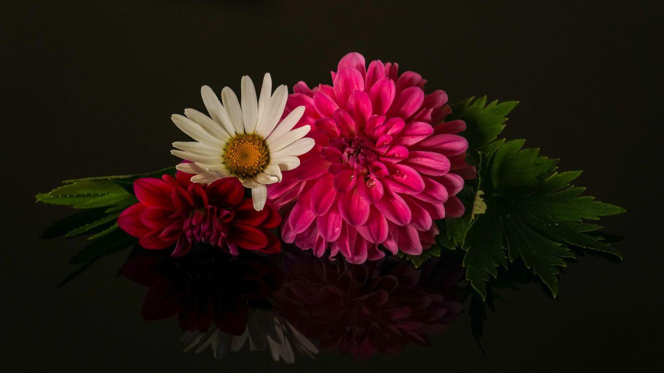 Фото бесплатно георгин, ромашка, цветы, флора, цветы - скачать на рабочий стол