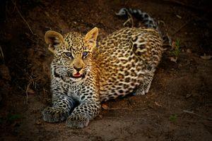 Маленький котенок леопарда · бесплатное фото