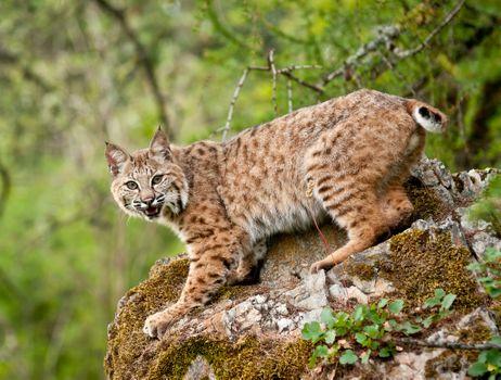 Фото бесплатно рысь, дикая кошка, хищник