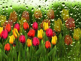 Заставки капли, тюльпаны, флора
