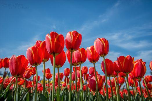 Бесплатно тюльпаны, тюльпан фото лучшие