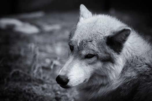 Photo free gray, wolf, face