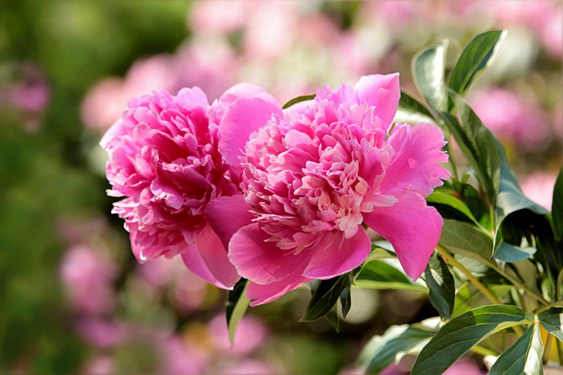 Фото бесплатно цветок, пион, розовый - на рабочий стол