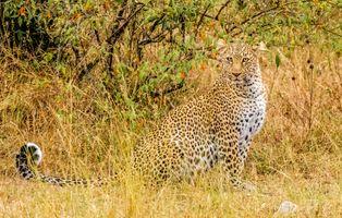 Бесплатные фото леопард,leopard,Maasai Mara,Kenya