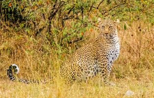 Фото бесплатно леопард, leopard, Maasai Mara