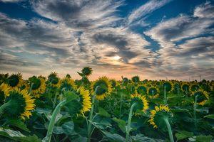 Бесплатные фото закат солнца,поле,цветы,подсолнухи,небо,облака,пейзаж