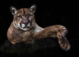Фото бесплатно пума, хищник, животное