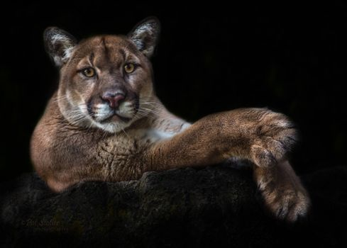 Заставки пума, хищник, животное