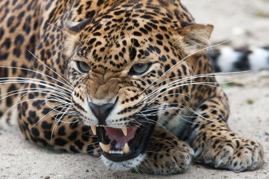 Angry leopard hisses at passers-by · free photo