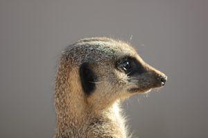 Бесплатные фото Meerkat,сурикат,смотрит,в даль,Crowfield,England,United Kingdom
