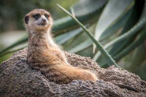 Бесплатные фото meerkat,отдыхающий,suricate,suricata,suricatta,сурикаты,сурикат