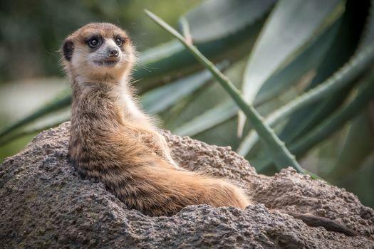 Фото бесплатно meerkat, отдыхающий, suricate