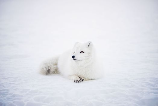 Photo free Arctic foxes, cute, lying