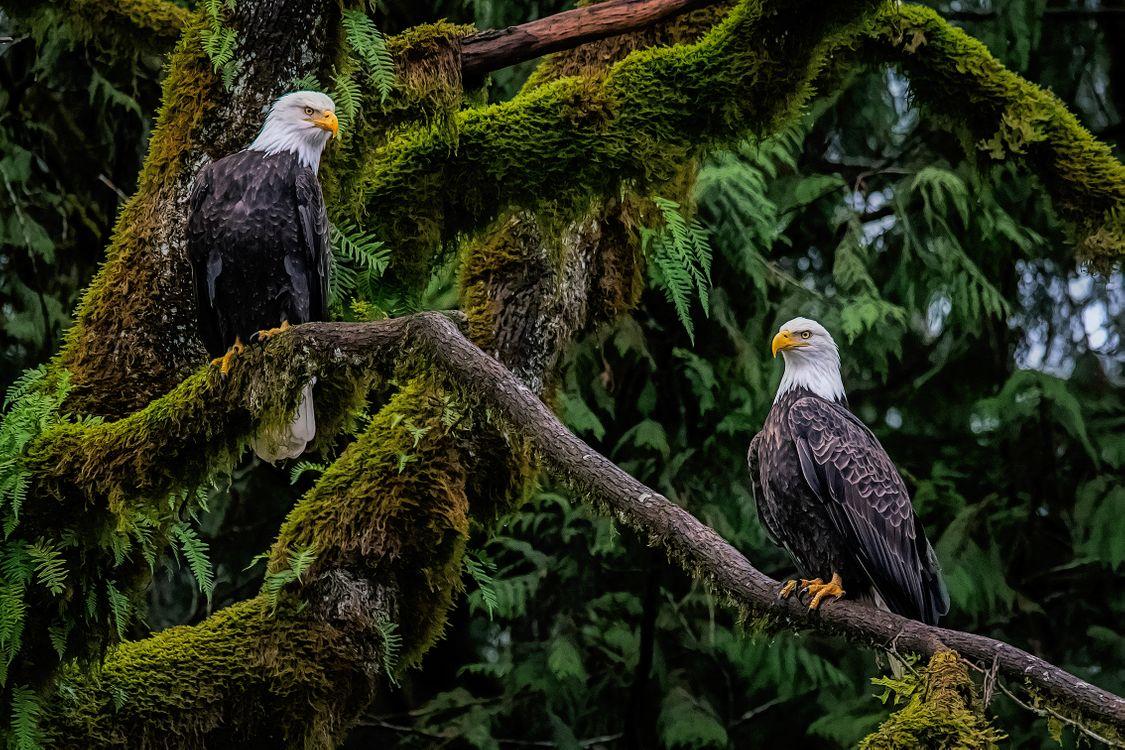 Фото бесплатно белый орлан, хищник, птица, на дереве, белые орланы, лес, деревья, природа, птицы