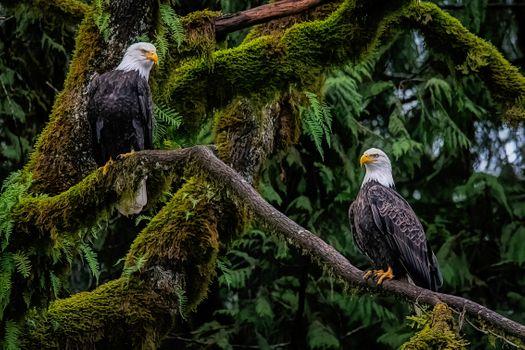 Бесплатные фото белый орлан,хищник,птица,на дереве,белые орланы,лес,деревья,природа