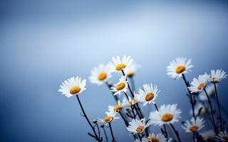 Бесплатные фото природа,цветы,ромашки,Matricaria