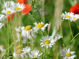 Photo free field, chamomile, flowers