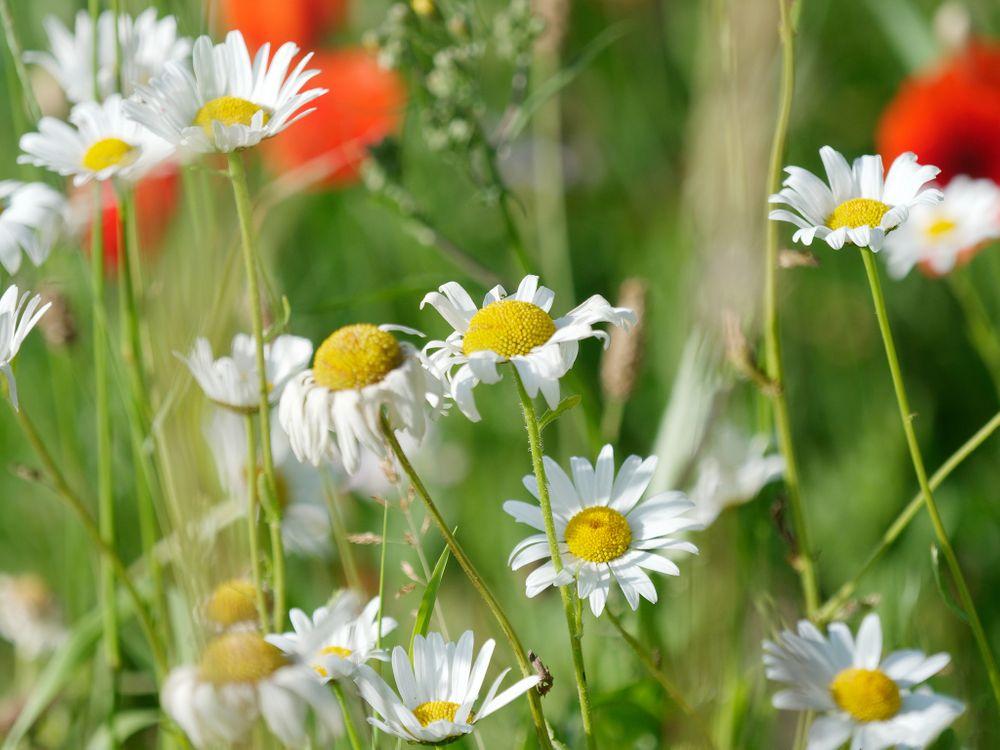 Фото бесплатно поле, ромашки, цветы, полевые цветы, флора, макро, цветы