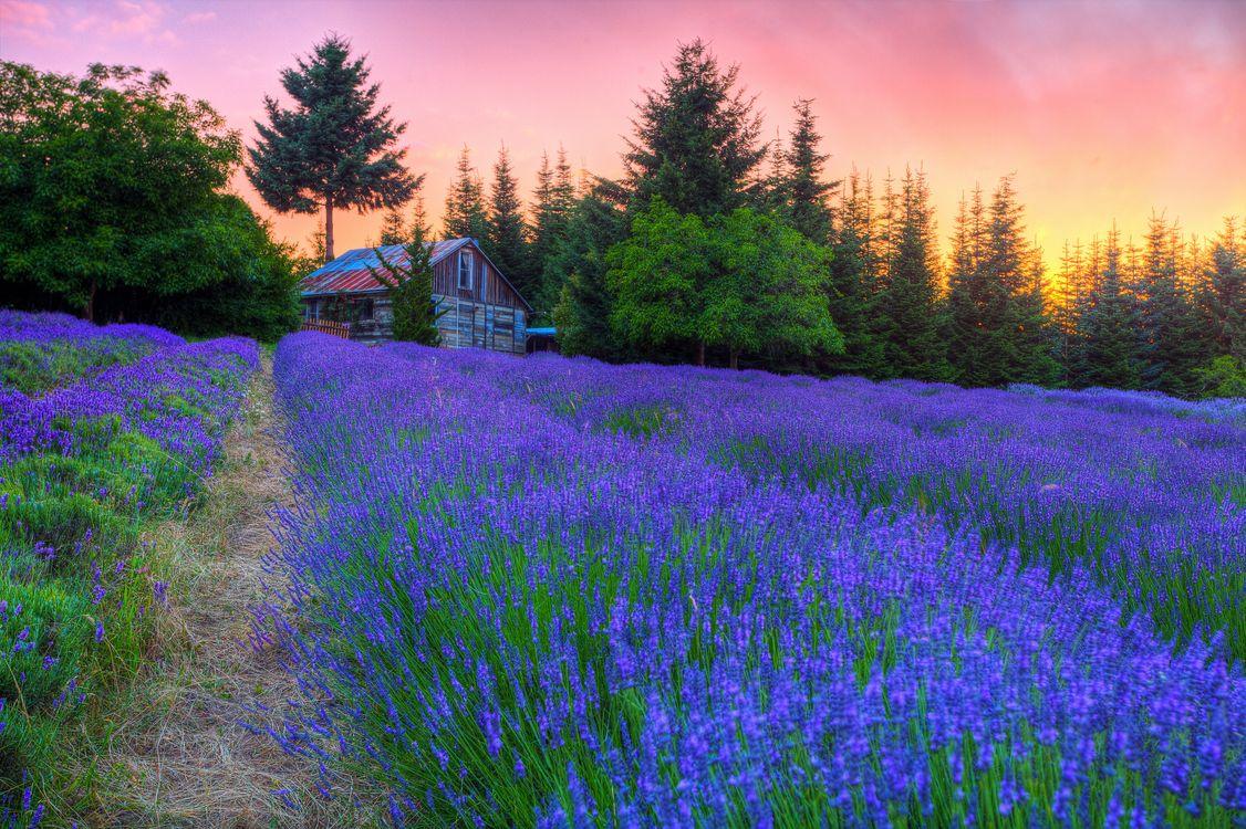 Фото бесплатно закат, поле, цветы, лаванда, деревья, домик, пейзаж, пейзажи