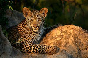 Милый котенок леопарда