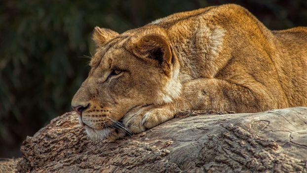 Львица на поваленном дереве