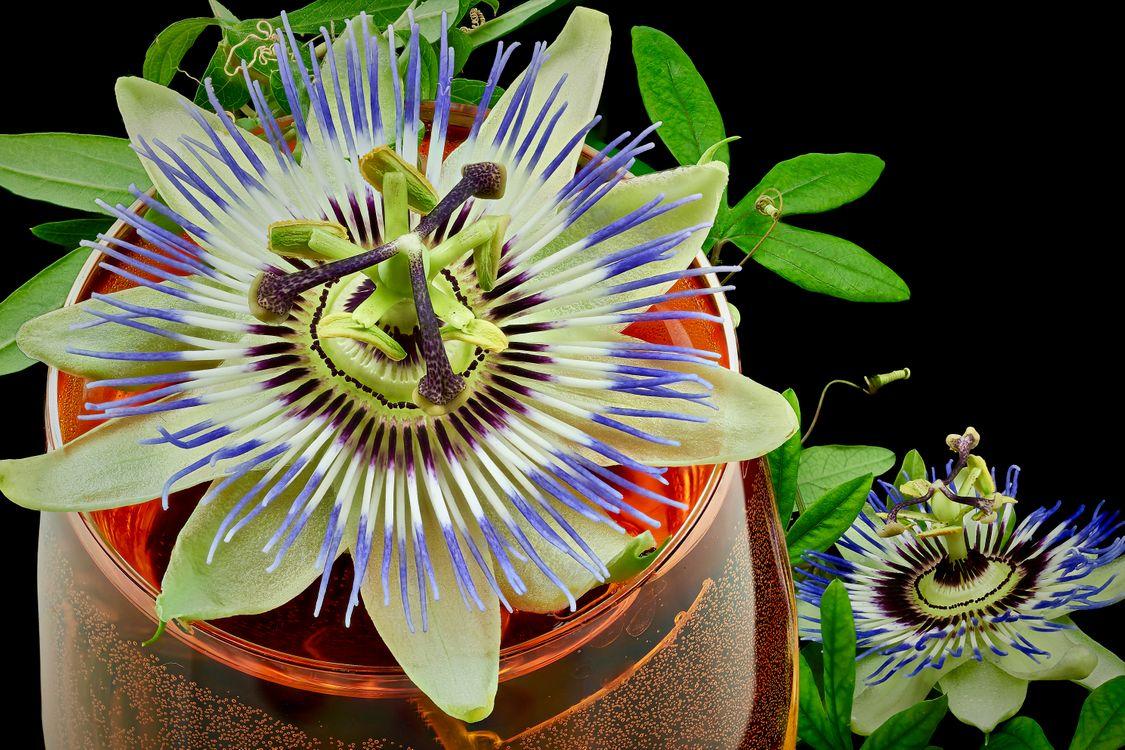 Фото бесплатно Пассифлора, Страстоцвет, Pasionflower - на рабочий стол