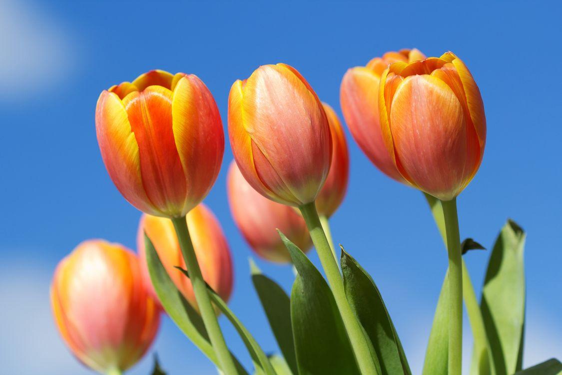 Фото бесплатно желтые тюльпаны, цветы, небо - на рабочий стол