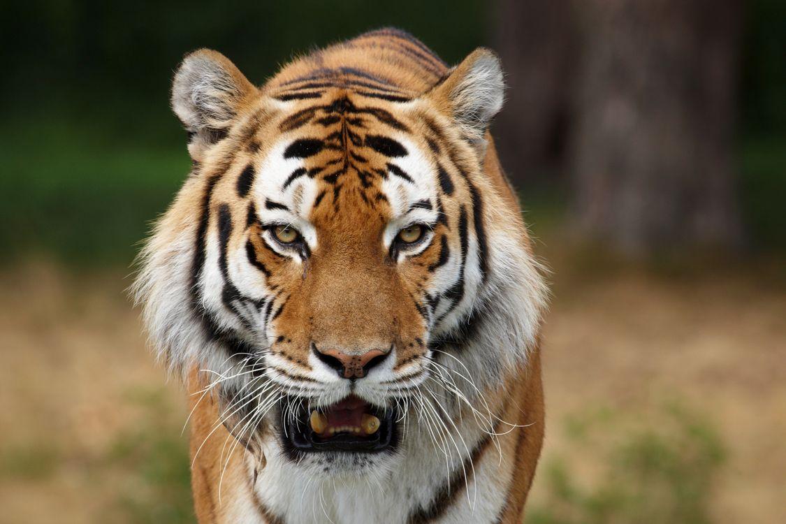 Рычащий тигра · бесплатное фото