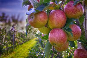Фото бесплатно дерево, яблоки, ветки, листья, еда, фрукты, природа