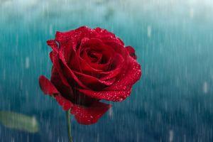 Фото бесплатно роза, дождик, капли