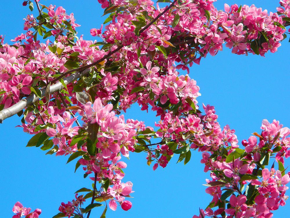 Обои дерево, природа, филиал, цвести, растение, небо, цветок, весна, производить, розовый, вишня в цвету, голубое небо, кустарник, ветви, красивая на телефон | картинки цветы